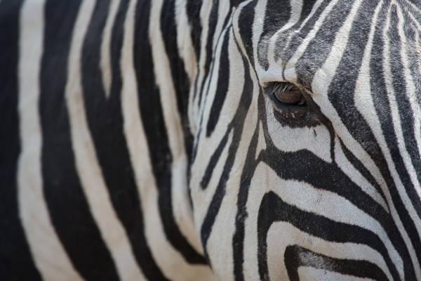 Gabi Guiard - Zebra's Pattern | blinq.art