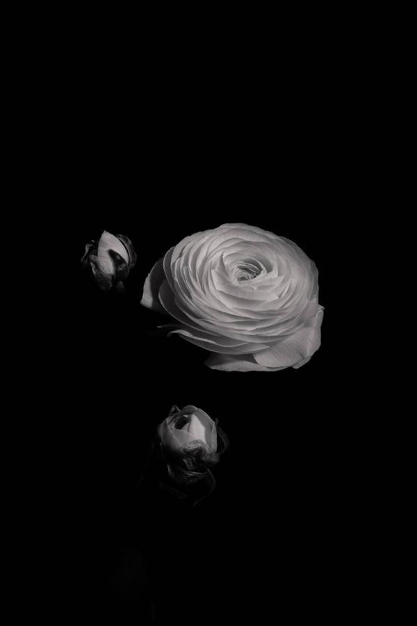 Dylan Demarchi - Ranunculus 1 | blinq.art