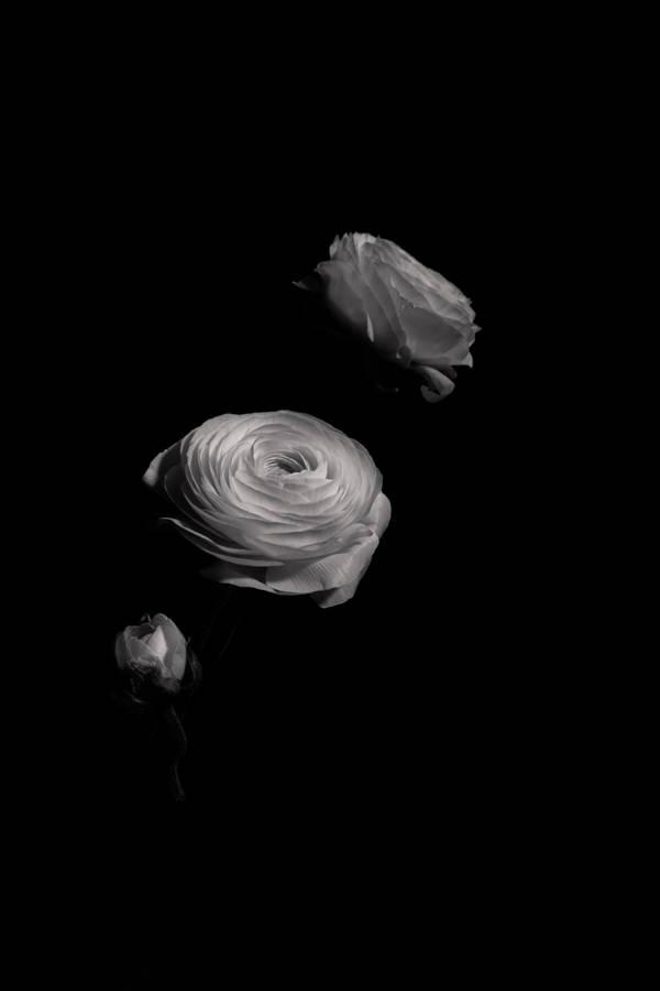 Dylan Demarchi - Ranunculus 2 | blinq.art