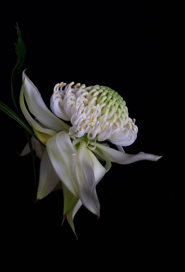 Dylan Demarchi - Telopea Wirrimbirra White 1 | blinq.art