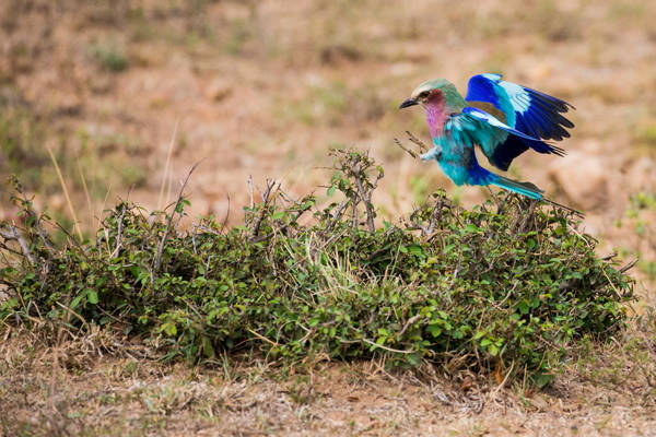 Mark Fitzsimmons - Lilac Breasted Roller