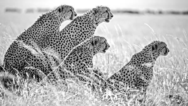 Mark Fitzsimmons - Cheetah Brothers Masai Mara