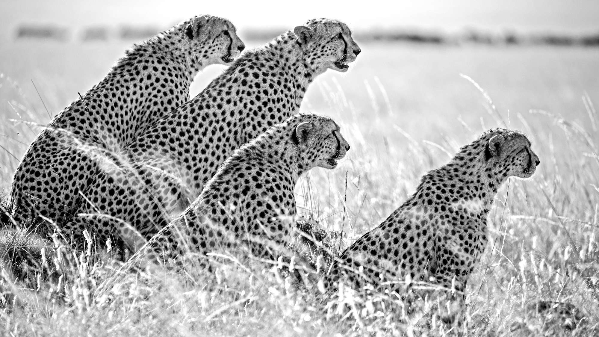 Mark Fitzsimmons - Cheetah Brothers Masai Mara