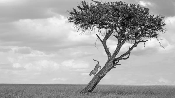 Mark Fitzsimmons - Cheetah on a Balanite Tree