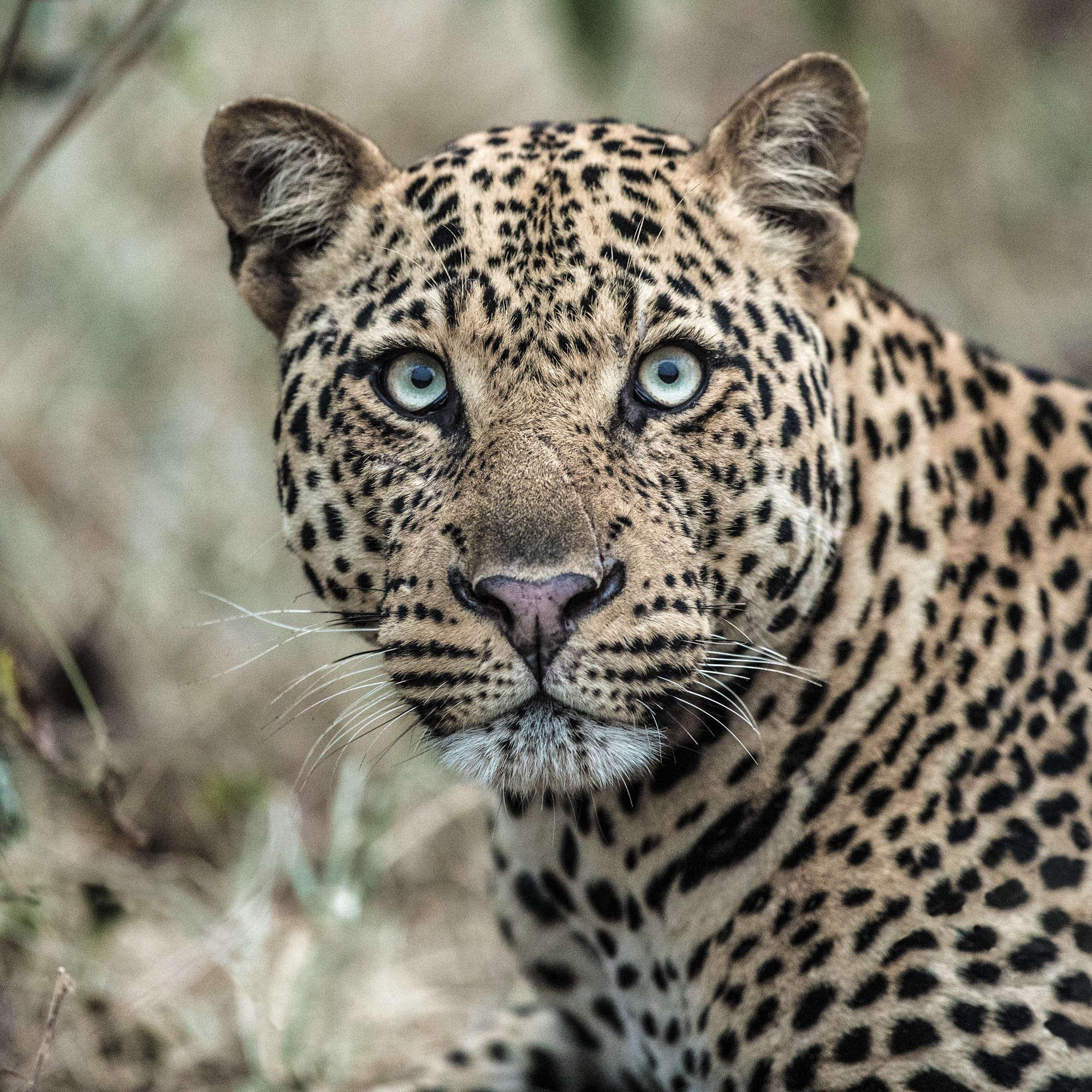 Mark Fitzsimmons - Scarnose Leopard