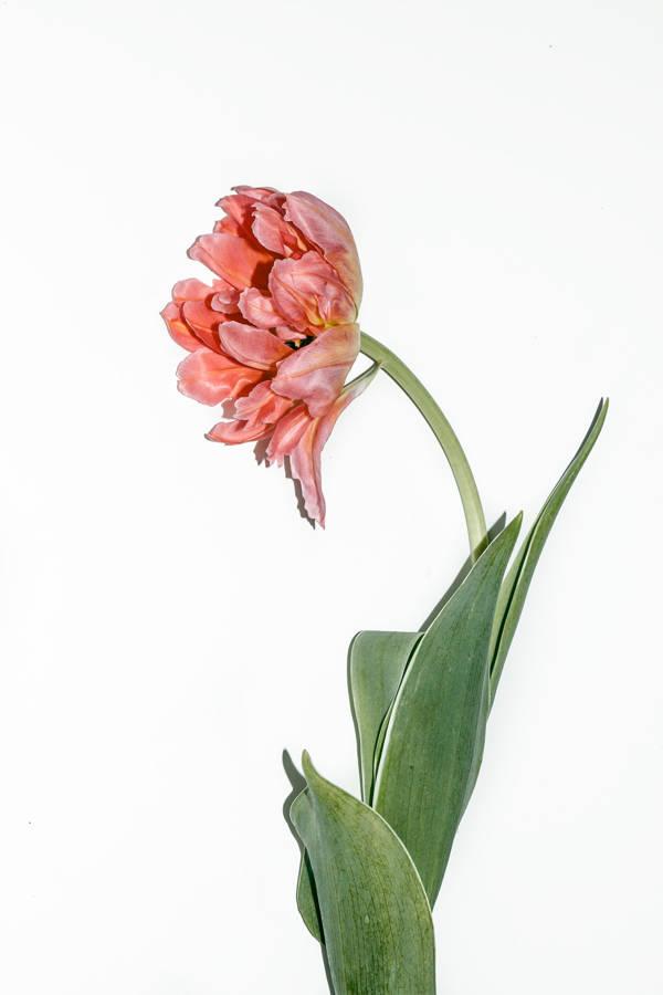 Laura  Goodall - Tulip