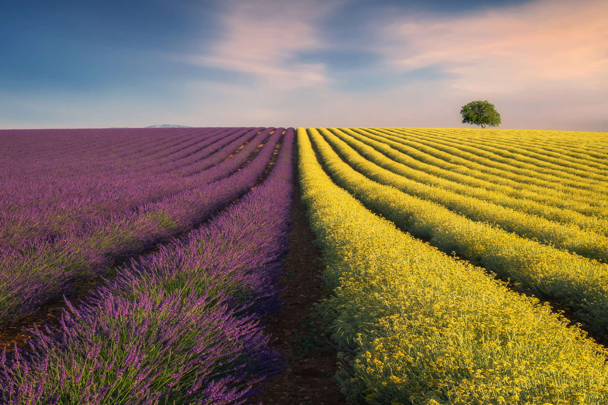 Ales Komovec - Buttercups and Lavender