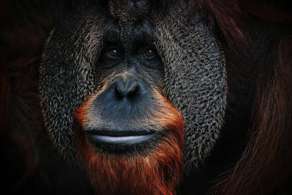 Antje Wenner-Braun - One of the Great Apes | blinq.art