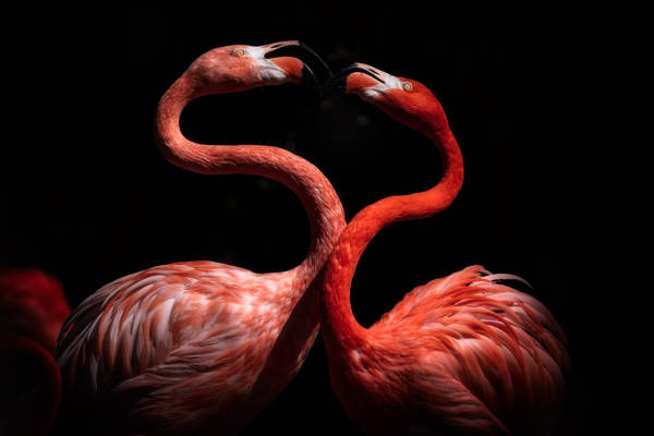 Eiji Itoyama - Flamingo Lovers