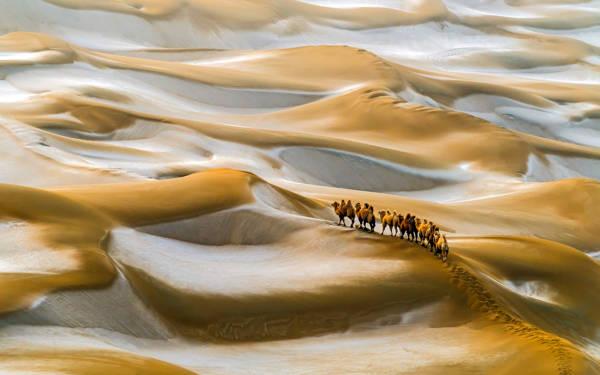Hua Zhu - Camels in Winter | blinq.art