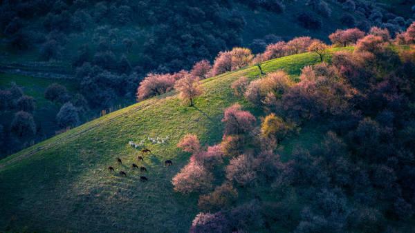 Hua Zhu - Wild Apricot Forest