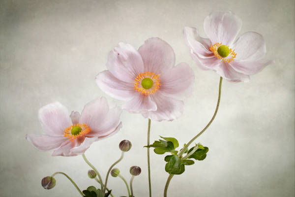 Mandy Disher - Three Anemones | blinq.art