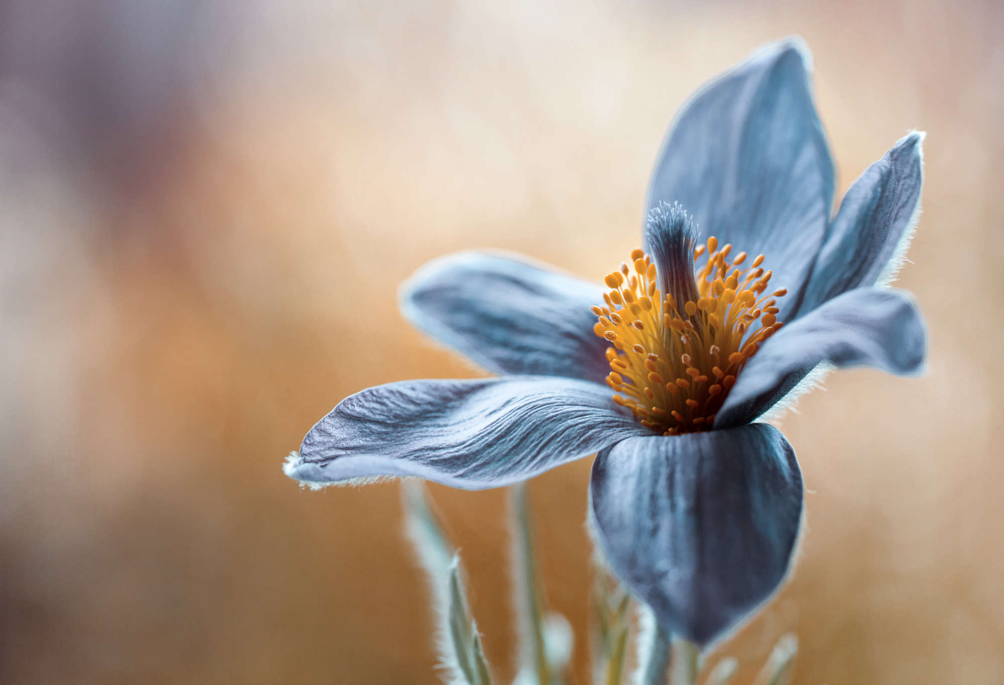 Mandy Disher - Blue Himalayan Poppy