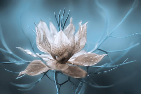 Mandy Disher - Nigella | blinq.art