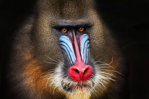 Alessandro Catta - Mandrill Stillness | blinq.art
