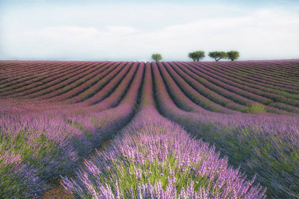 Margarita Chernilova - Lavender Field Day | blinq.art
