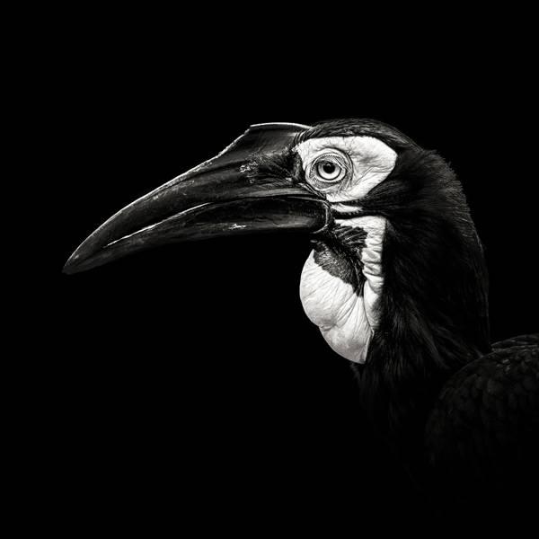 Christian Meermann - The Last Southern Ground Hornbill
