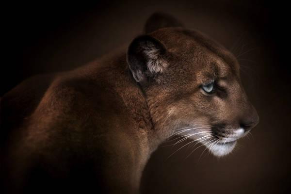 Doris Reindl - Gazing Puma