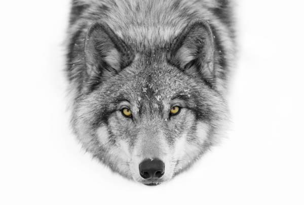 Jim Cumming - Wolf Canis Lupus   blinq.art