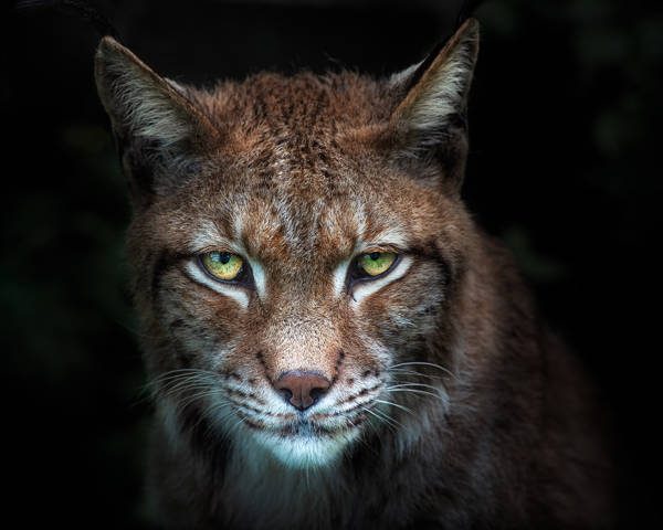 Santiago Pascual Buye - Night Lynx Vision