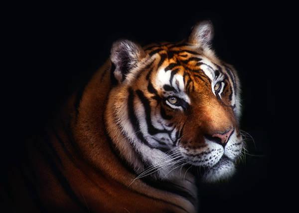 Santiago Pascual Buye - Tiger Eyes | blinq.art